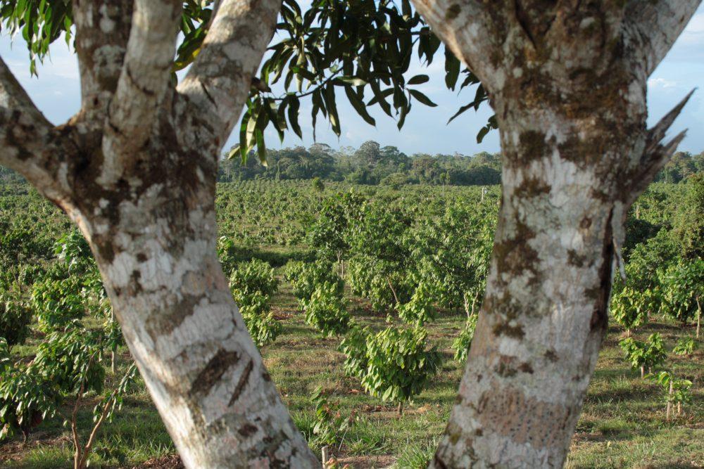 Permalink auf:Kakaoplantage Nicaragua